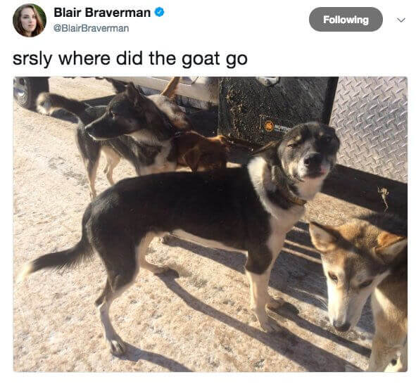 tweet saying 'seriously where the the goat go' with an image showing dogs outside looking around. one dog is looking suspiciously with narrowed eyes at the picture taker.